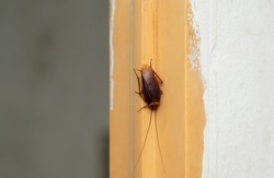 Cockroach crawling upside down on the wall