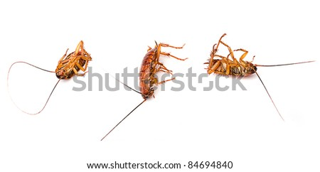 cockroach isolated