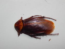 Cockroach morphology seen from above.