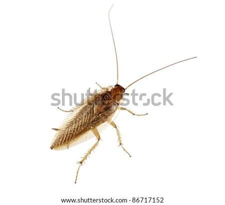 Cockroach over white background - Blatella germanica