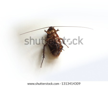 Cockroach upturned isolated on white background