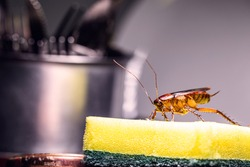 cockroach walking on a washing sponge in the kitchen sink with dirty dishes. Insect contamination and pest concept