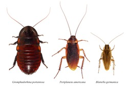Cockroaches. Madagascar hissing cockroach (Gromphadorhina portentosa), American cockroach (Periplaneta americana) and German cockroach (Blattella germanica). Isolated on a white background