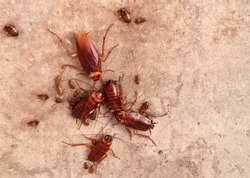 Cockroaches under the floor. Cockroaches laying eggs. Cockroaches in dirty places. Disgusting animals. ( Cockroaches )