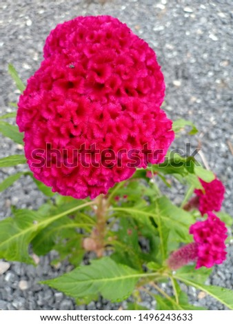 Cockscomb Classified as a small shrub plant The height of the plant is about 20 inches. Can be propagated by seeds. Is an outdoor plant that likes strong sunlight and grows easily and grows quickly #1496243633