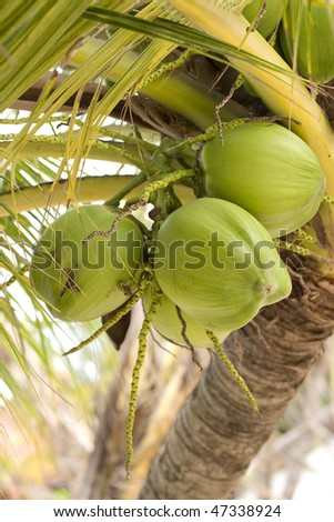 Coco, coconut palm tree