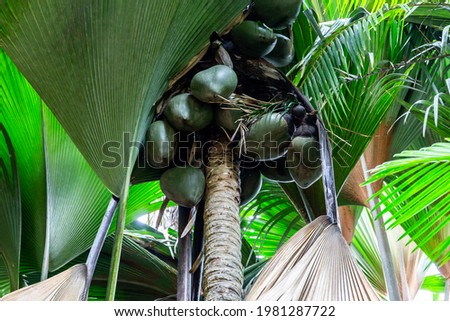 Coco de mer (Lodoicea maldivica) female fruits clusters with largest nuts in the world inside, endemic species to Praslin Island, Vallee de Mai National Reserve, Praslin Island, Seychelles. Foto stock ©