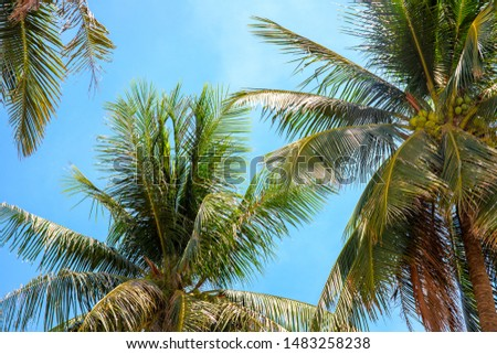 Coco palm crown on blue sky background, tropical nature photo. Palm tree in sunny sky banner template. Summer travel or honeymoon. Fluffy palm leaf on wind. Tropic jungle idyllic landscape #1483258238
