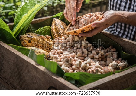 Cocoa Beans and Cocoa Fruits, Fresh cocoa pod cut exposing cocoa seeds