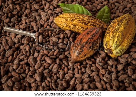 Cocoa Beans and Cocoa Fruits on wooden, Cocoa concept with raw. #1164659323