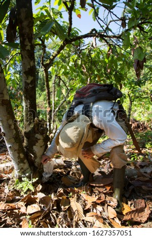 cocoa biologist busy working and taking care of the plants and grafting a new resistant cocoa plant cutting on a branch of an old tree by splitting and wrapping