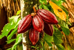cocoa cacao tree plant fruit plantation ecuador rainforest seed forest cocoa fruit in the tree red variety is considered to be the best shot in ecuadorian jungle cocoa cacao tree plant fruit plantatio