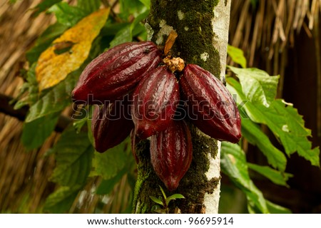 COCOA FRUIT IN THE TREE, RED VARIETY IS CONSIDERED TO BE THE BEST, SHOT IN ECUADORIAN JUNGLE