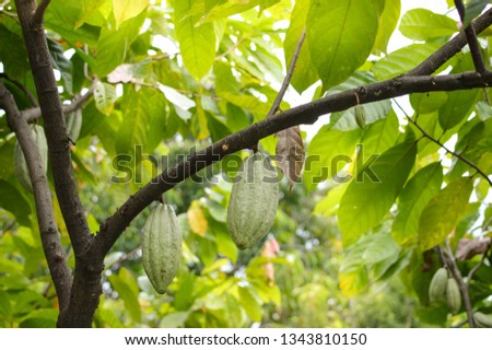 Cocoa fruits and trees in the highlands of Samosir Island in North Sumatra, Indonesia #1343810150