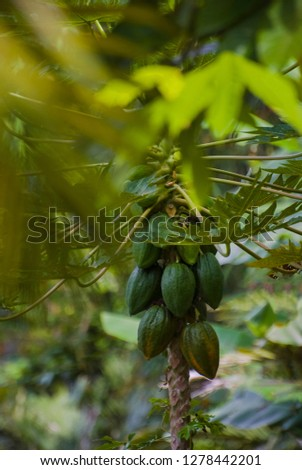 Cocoa Pods Hanging from the Cocoa Tree in Bali, Indonesia. During harvest, the pods are opened, the seeds are kept, and the empty pods are discarded. The seeds are placed where they can ferment.