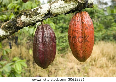 Cocoa pods (Theobroma cacao) hanging from a branch in the Ecuadorian Amazon