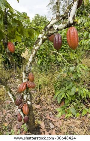 Cocoa tree (Theobroma cacao) with pods in the Ecuadorian Amazon