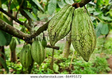 Cocoa tree with fruit, Bali  Indonesia
