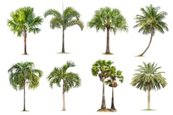 Coconut and palm trees Isolated tree on white background , The collection of trees.Large trees are growing in summer, making the trunk big.