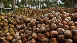 Coconut farm with big coconut ready for production. Large piles of ripe sorted coconuts for production of oil and pulp on coconut farm in Samui Thailand.