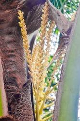 Coconut flower on tree, Spadix