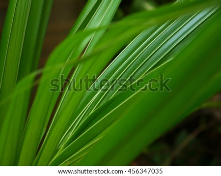 Coconut fronds of the palm trees in the rainy season.