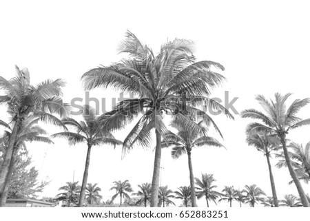 Coconut Leaves And Coconut Trees In Black And White