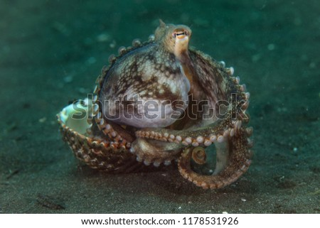 Coconut octopus (Amphioctopus marginatus) using seashell for shelter. Picture was taken in Lembeh Strait, Indonesia
