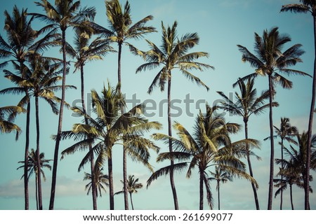 coconut palm in hawaii  usa.