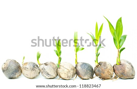 Coconut palm seedlings on a white background.