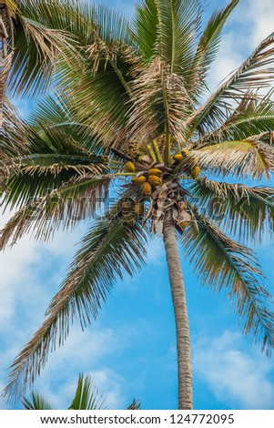 Coconut palm tree against blue sky