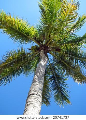 coconut palm tree against deep blue sky - stock photo