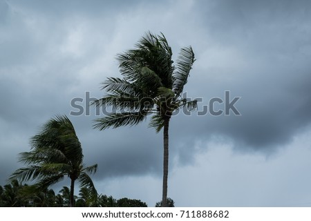 Shutterstock Coconut palm tree blowing in the winds before a power storm or hurricane