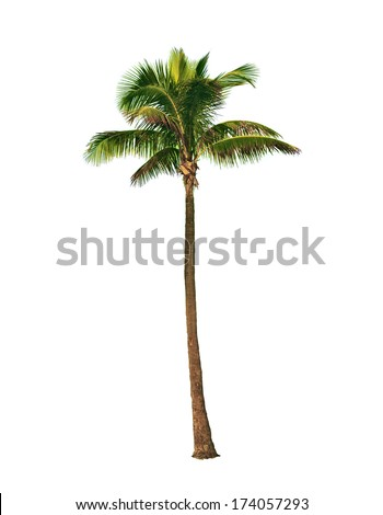 Coconut palm tree, Cocos Nucifera, with green leaves isolated on white background
