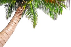 Coconut palm tree isolated on a white background