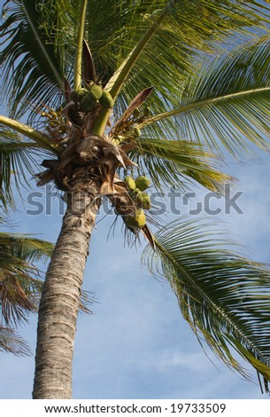 Coconut palm tree Low angle view of a coconut palm tree, waving in the trade winds