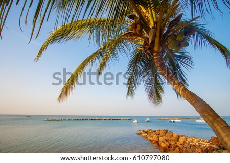 Coconut palm tree on a beach in Senegal, Saly.  #610797080