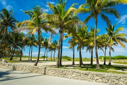 Coconut palm trees along the promenade in Miami Beach.