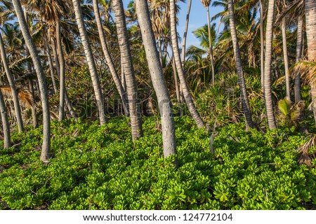 Coconut palm trees forest in Hawaii