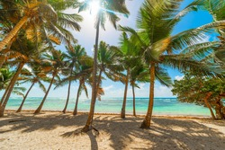 Coconut Palm trees in Bois Jolan beach in Guadeloupe, French west indies. Guadeloupe is an archipelago that is part of the Lesser Antilles in the Caribbean sea