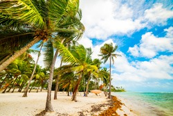 Coconut palm trees in Bois Jolan beach in Guadeloupe, French west indies. Lesser Antilles, Caribbean sea