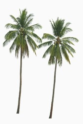 Coconut palm trees isolated on a white background.
