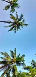Coconut palm trees perspective view,in blue sky