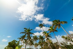 Coconut Palm trees under a blue sky in Guadeloupe, French west indies. Guadeloupe is an archipelago that is part of the Lesser Antilles in the Caribbean sea