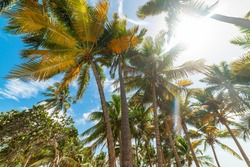 Coconut Palm trees under a shining sun in Guadeloupe, French west indies. Guadeloupe is an archipelago that is part of the Lesser Antilles in the Caribbean sea