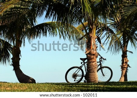 Coconut palms along a walkway, with a bicycle.