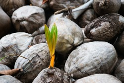 Coconut plantation - Growth
