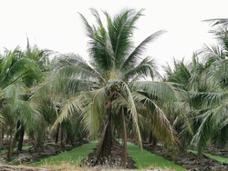 Coconut plantations are planted in long, deep rows.There is a ditch dug between the embankments.In the water, all the green duckweed appeared.Many coconut trees are popular farming in thailand