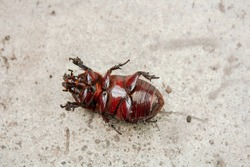 Coconut rhinoceros beetle, Indian rhinoceros beetle, Asian rhinoceros beetle , is a type of beetle. Its scientific name is Oryctes rhinoceros. Its body is reddish-brown, almost black. It has light bro