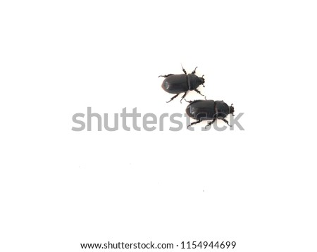 Coconut rhinoceros beetle on over white background. Indian rhinoceros beetle,or Asian rhinoceros beetle,or Oryctes rhinoceros.It is a very dangerous insect pest of palm and coconut,
